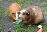 guinea-pig-467399_960_720